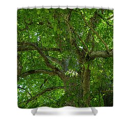Old Linden Tree. Shower Curtain