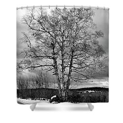 Old White Birch Shower Curtain