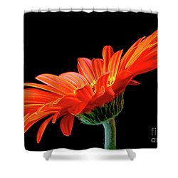 Orange Gerbera On Black Shower Curtain