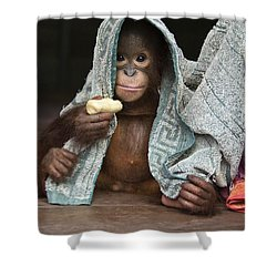 Orangutan 2yr Old Infant Holding Banana Shower Curtain