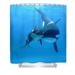 Shower Curtain featuring the photograph Orca Orcinus Orca Mother And Newborn by Hiroya Minakuchi