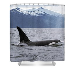 Orca Orcinus Orca Surfacing Shower Curtain by Konrad Wothe