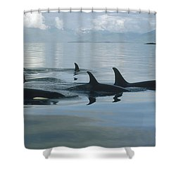 Shower Curtain featuring the photograph Orca Pod Johnstone Strait Canada by Flip Nicklin