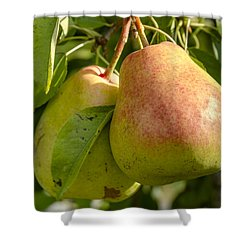Organic Pears Hanging In Orchard Shower Curtain by Teri Virbickis