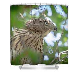 Red-shouldered Hawk Fledgling 1 Shower Curtain