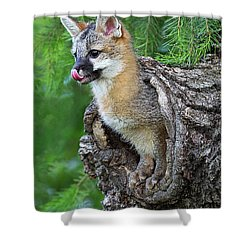 Out Pops A Gray Fox Shower Curtain