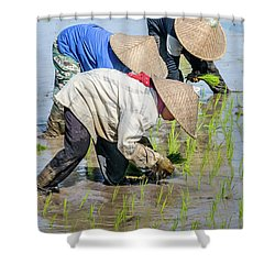 Paddy Field 2 Shower Curtain by Werner Padarin
