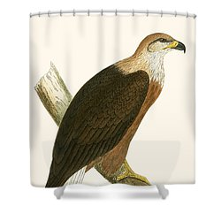 Pallas's Sea Eagle Shower Curtain by English School