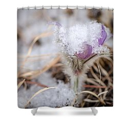 Pasqueflower In The Snow Shower Curtain