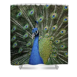 Peacock Displaying Closeup Shower Curtain