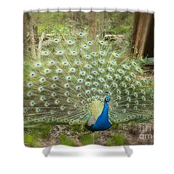 Peacock Displaying His Feathers Shower Curtain
