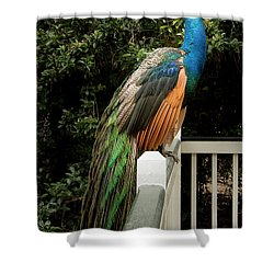 Peacock On A Fence Shower Curtain by Jean Noren