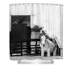 Peak-a-boo Calf Shower Curtain