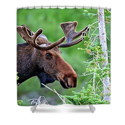 Shower Curtain featuring the photograph Peaking Moose by Scott Mahon