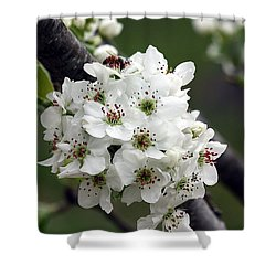 Shower Curtain featuring the photograph Pear Blossoms In Spring by Sheila Brown