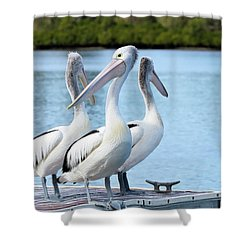 Pelicans 6663. Shower Curtain