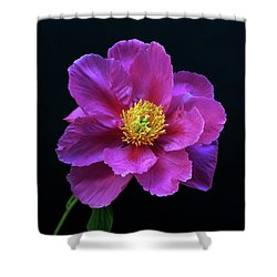 Peony - Beautiful Flowers And Decorative Foliage On The Right Is One Of The First Places Among The G Shower Curtain