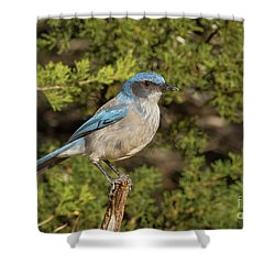 Perched Scrub Jay Shower Curtain