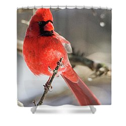 Perching Mister Cardinal Shower Curtain