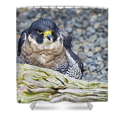Peregrine Falcon 1 Shower Curtain