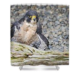 Peregrine Falcon 2 Shower Curtain