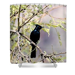 Phainopepla Black Cardinal Shower Curtain