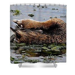 Pied-billed Grebe Spreading Oil Shower Curtain