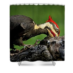 Pileated 3 Shower Curtain by Douglas Stucky