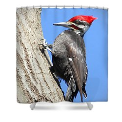 Pileated Power Shower Curtain by Anita Oakley