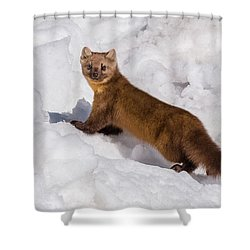 Pine Marten In Snow Shower Curtain by Yeates Photography