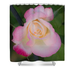 Pink Tinged Rose Shower Curtain