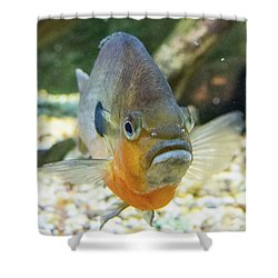 Piranha Behind Glass Shower Curtain
