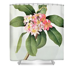 Plumeria Shower Curtain by Georg Dionysius Ehret