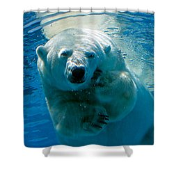 Shower Curtain featuring the photograph Polar Bear Contemplating Dinner by John Haldane