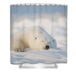 Polar Bear  Ursus Maritimus , Young Shower Curtain