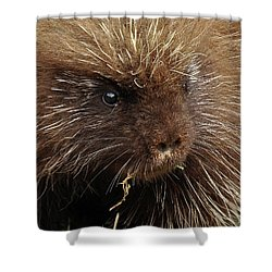 Shower Curtain featuring the photograph Porcupine by Glenn Gordon
