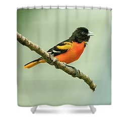 Portrait Of A Singing Baltimore Oriole Shower Curtain