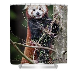 Portrat Of A Content Red Panda Shower Curtain