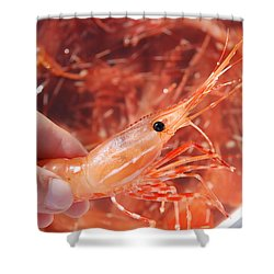 Prawns Shower Curtain