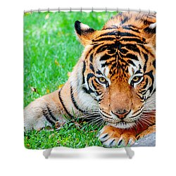 Pre-pounce Tiger Shower Curtain