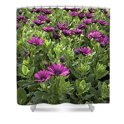 Prescott Park - Portsmouth New Hampshire Osteospermum Flowers Shower Curtain by Erin Paul Donovan