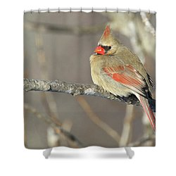 Pretty Female Cardinal Shower Curtain by Brook Burling