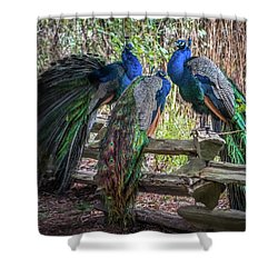 Proud As Three Peacocks Shower Curtain