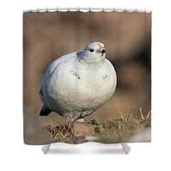 Ptarmigan Going For A Stroll Shower Curtain