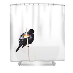 Puffed Up Red-winged Blackbird Shower Curtain