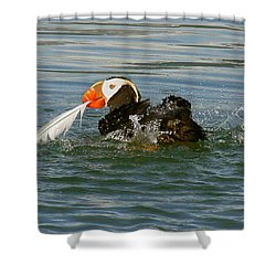 Puffin With A Prize Shower Curtain by Myrna Bradshaw