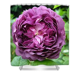 Purple English Rose Shower Curtain