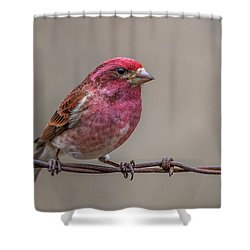 Shower Curtain featuring the photograph Purple Finch On Barbwire by Paul Freidlund