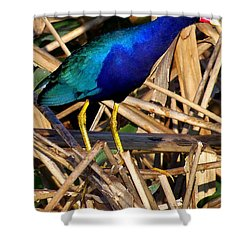 Shower Curtain featuring the photograph Purple Galinule 002 by Chris Mercer