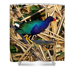 Shower Curtain featuring the photograph Purple Galinule 003 by Chris Mercer